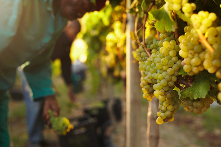 grape field: Bunch of Grapes on vines at vineyard with grape picker working in background.