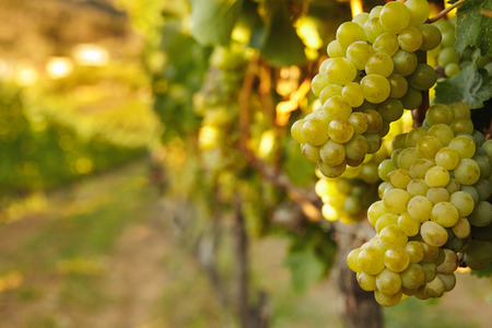 bunch up: Close up shot of bunch of fresh green grapes hanging from vine. Vines full of green grapes in vineyard.