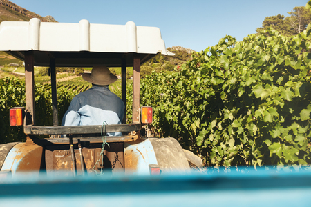 country lifestyle: Rear view of farmer driving his tractor between rows of trellis in the vineyard during harvest season.