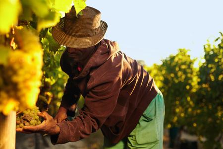 agricultor: Agricultor recogiendo las uvas durante la cosecha. Hombre cortando uvas en la viña. Foto de archivo