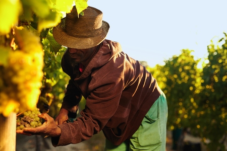 the farmer: Farmer picking up the grapes during harvesting. Man cutting grapes in vineyard. Stock Photo