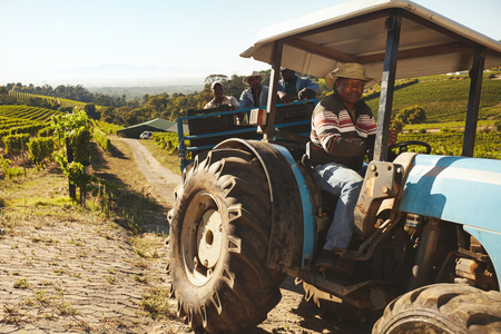 factory farm: Vineyard worker taking grapes to wine factory after harvesting. Transporting grapes from farm to wine factory in a tractor trailer.