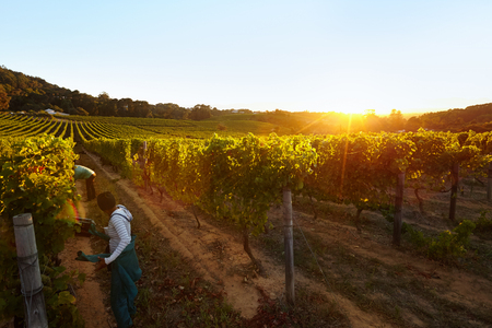 Row of vines with workers working in grape farm. People harvesting grapes in vineyard. Standard-Bild