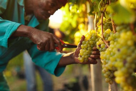 포도 수확: 포도 와인 수확하는 동안 포도 따기 남자의 총을 닫습니다. 포도 나무에서 포도의 무리를 절단.