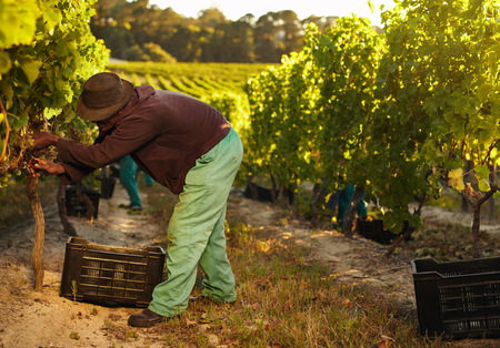 African farmer harvesting grapes in vineyard. Man pruning grapes from vine and collecting in plastic bins.