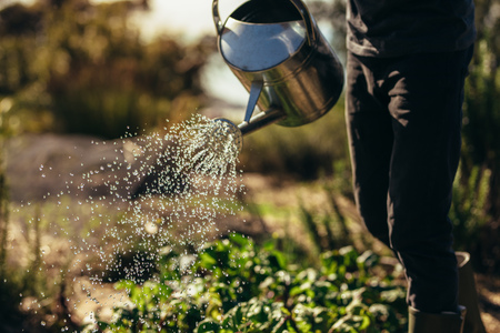Cropped shot of man waters vegetables with sprinkling can on farm. Male farmer giving water to the crops with watering can. Banco de Imagens