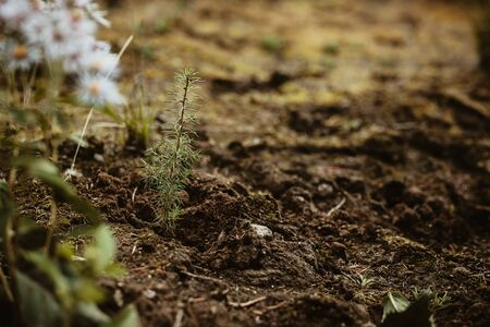 Closeup of a new tree planted in forest. Reforestation after deforestation.