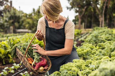 Picking fresh vegetable produce. Young female gardener gathering fresh kale into a basket in a vegetable garden. Self-sufficient young woman harvesting on an organic farm.