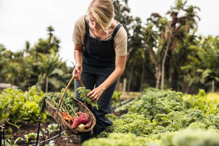 Female gardener picking fresh kale from a vegetable garden. Young woman gathering fresh produce into a basket on an agricultural field. Self-sufficient young woman harvesting on an organic farm. Фото со стока