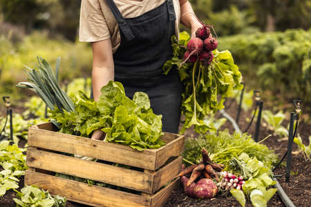 Female farmer arranging fresh vegetables into a crate on her farm. Organic farmer gathering fresh produce in her vegetable garden. Self-sustainable young woman harvesting in an agricultural field. Фото со стока