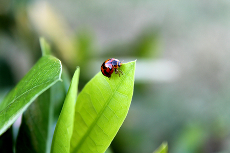 lady bug: Little lady bug with blur background