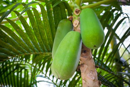 Papaya tree with fruit as fresh organic in Asia Stock Photo