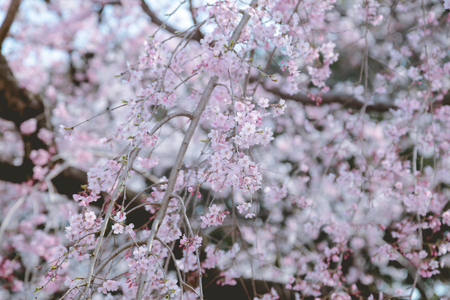 Cherry Blossom Natural Background
