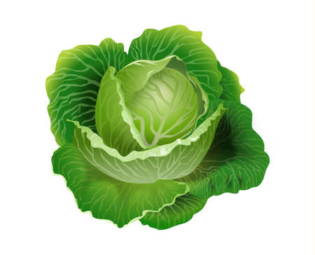 Cabbage vector 3D illustration Illustration