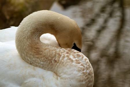 quite time: swan trying to take a napin quite time, closeup Stock Photo