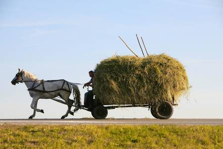 hay: cart full of hay drown by a white horse, on the road to home from the field, after a day of work, in the dawn Stock Photo