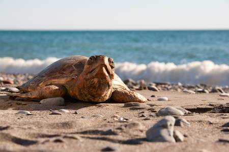 beenderige: Schild padden zijn reptielen van de volg orde die wordt gekenmerkt door een speciale-benige of kraakbeenachtige shell ontwikkeld op basis van hun ribben die als een schild fungeert