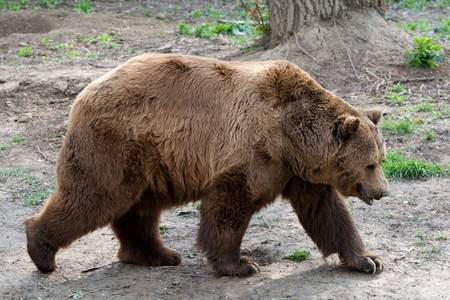 The brown bear is a large bear distributed across much of northern Eurasia and North America. It weighs 70 to 780 kilograms
