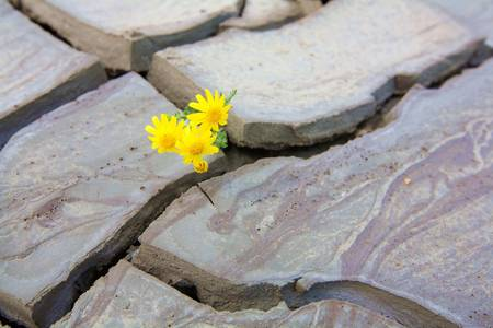 small yellow flower growing in a dried volcano mud suggesting the power of life photo
