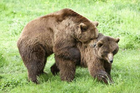 maschi e femminili orsi bruni accoppiamento in primavera Archivio Fotografico - 6941229