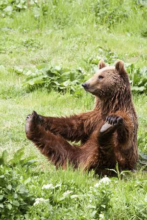 female brown bear doing shes body building exercise