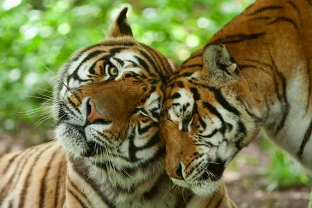 male and female tiger in a romantic pose , in their natural habitat