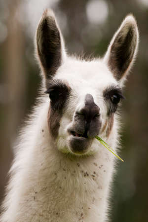 The llama is a South American camelid, widely used as a pack and meat animal by Andean cultures since pre-hispanic times. photo