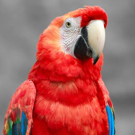 southeastern: The Scarlet Macaw  is a large, colorful macaw. It is native to humid evergreen forests in the American tropics. Range extends from extreme south-eastern Mexico to Amazonian Peru, Bolivia and Brazil Stock Photo