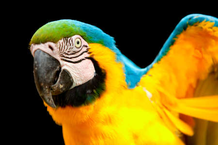 amazon rainforest: The Blue-and-yellow Macaw (Ara ararauna), also known as the Blue-and-gold Macaw, is a member of the group of large Neotropical parrots known as macaws.