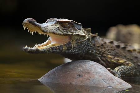 amazonia: Small caiman crocodile absorbing heat, shot in the wild in amazonian bazin in Ecuador. Stock Photo