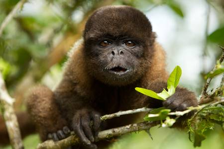 rainforest animal: chorongo monkey eating looking straight into the camera. Ecuadorian jungle. Stock Photo