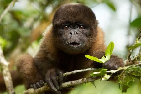 monos: chorongo mono comiendo mirando directamente a la cámara. Selva ecuatoriana.