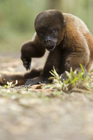 invalidity: Chorongo monkey with broken arms, shoot in the wild in ecuadorian rainforest. Stock Photo
