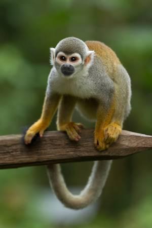 sciureus: adult saimiri monkey agains green blured background