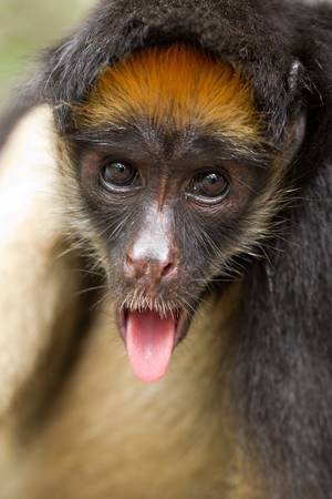 monkey face: funny spider monkey in ecuadorian primary jungle