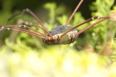 phalangida: Opiliones (formerly Phalangida) are an order of arachnids commonly known as harvestmen. Stock Photo
