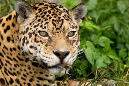 jaguar: Jaguar headshot van dichtbij Stockfoto