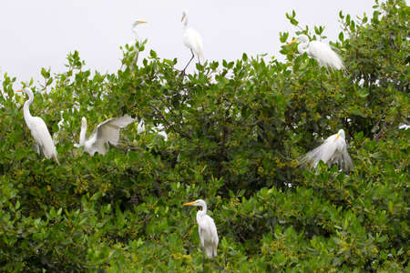 lacey: Great white egrets in their natural habitat.