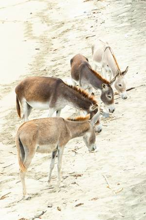 group of four donkey on the beach. photo