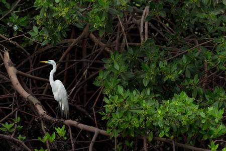 lacey: Great white egret in natural habitat.  Stock Photo