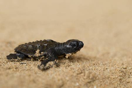 baby turtle: Baby turtle on the beach struggling to reach the ocean
