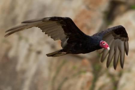 Male turkey vulture flying photo