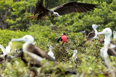 predominant: Frigate bird family with predominant male expressing his authority