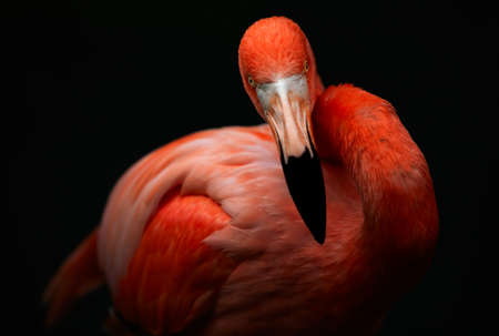 flamingos: Closeup of an adult male flamingo, isolated by natural light, Stock Photo