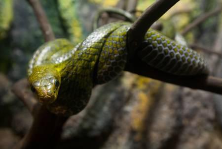 colubridae: Pseustes poecilonotus  polylepis also known as false cobra snake. Shot rainforest in Ecuador.