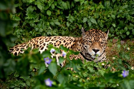 panthera: Large jaguar male in the ecuadorian rainforest with his ferocious look straight to your eyes Stock Photo