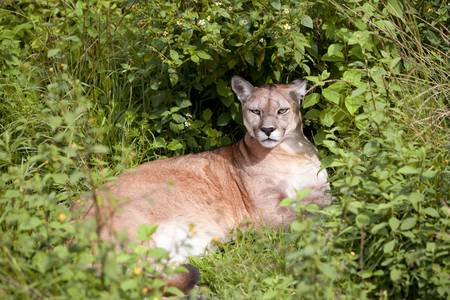 This large, solitary cat has the greatest range of any large wild terrestrial mammal in the Western Hemisphere, extending from Yukon in Canada to the southern Andes of South America. An adaptable, generalist species, the cougar is found in every major Ame photo