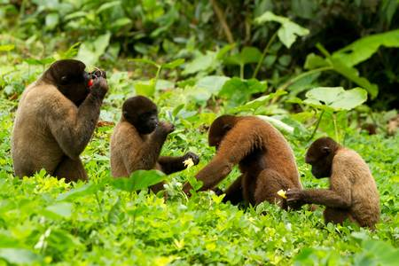 monos: Familia de mono de chorongo en la selva ecuatoriana. Brote de vida silvestre