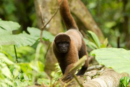Adult male chorongo in the Ecuadorian SE jungle, walking in hes natural habitat photo