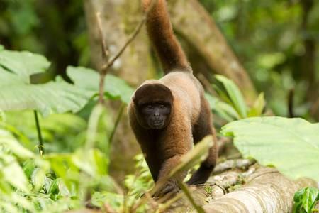 se: Adult male chorongo in the Ecuadorian SE jungle, walking in hes natural habitat